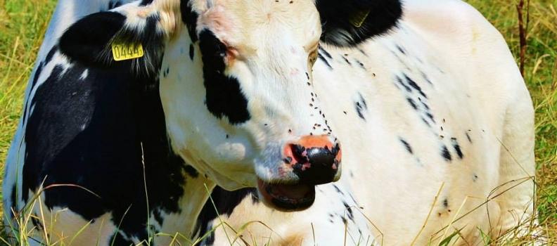 Sätilamjölk till Lygnerns anläggning